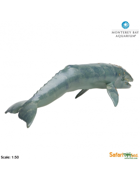 Wieloryb Pływacz szary