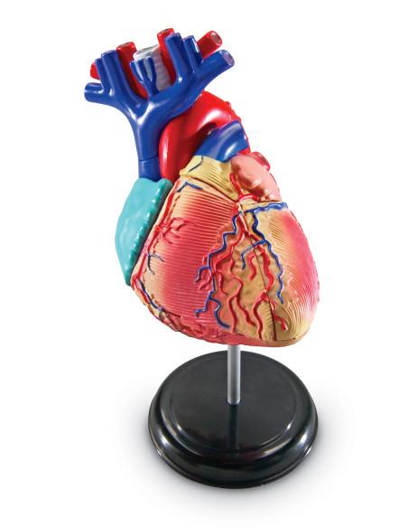 Anatomiczny model serca