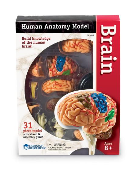 Anatomiczny model mózgu